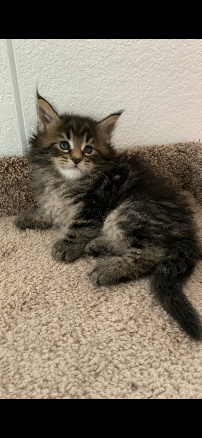 Jinxy's Den Maine Coon Cattery